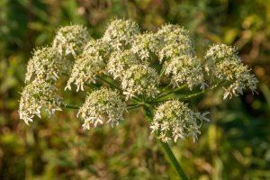 Gewone berenklauw (Heracleum sphondylium)